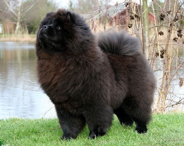 Purple Chow Chowww Chow Chow Chow Chow Dogs Dogs And Puppies