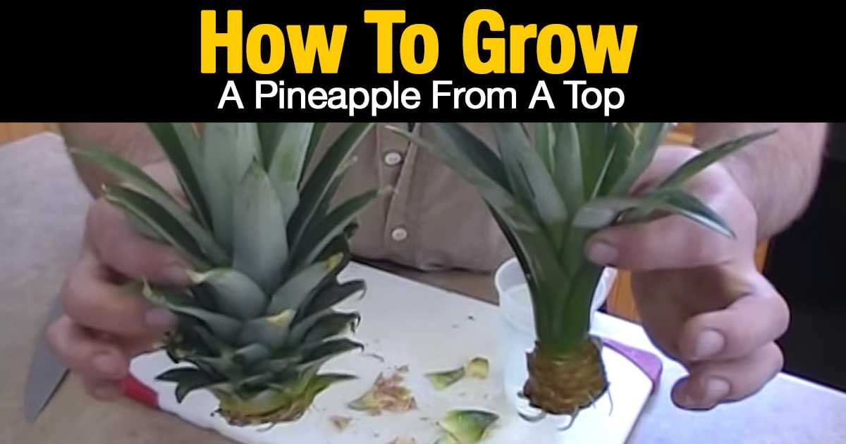 How To Grow A Pineapple Top In Water Growing Pineapple From Top Growing Pineapple Pineapple Planting