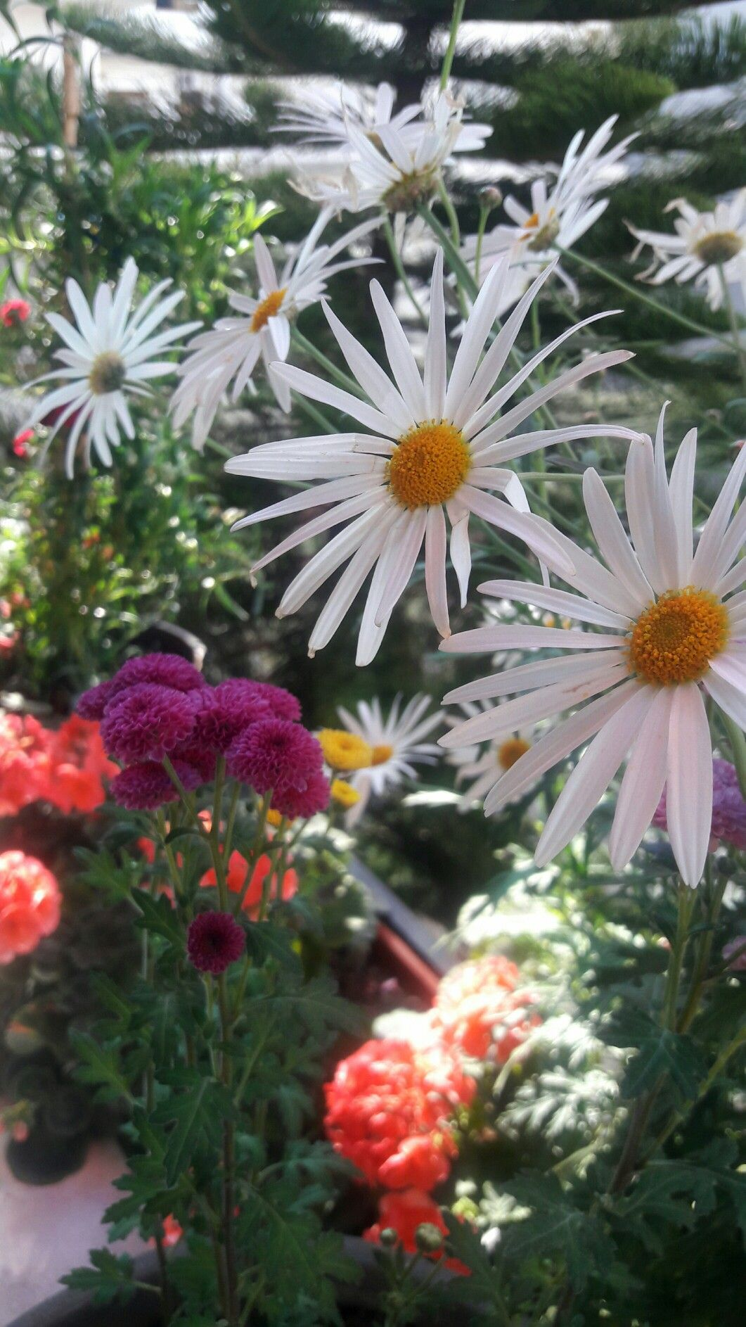 زهراتي عالبرندة My Flowers In Lattakia Plants My Flower Flowers
