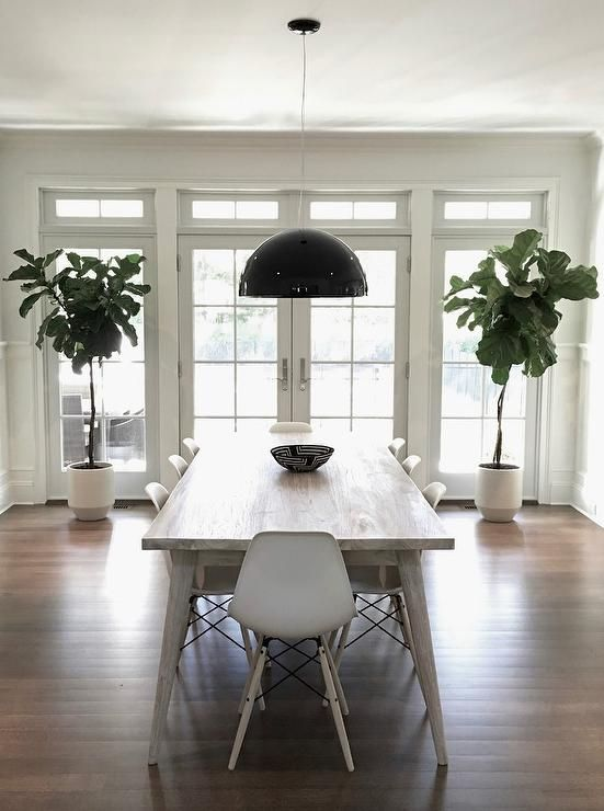 Fiddle Leaf Fig Plants Are Placed In Front Of Large Sidelights On