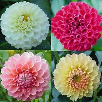 Dahlia Dahlia Variabilis Pompon Don T Forget Dahlia Seeds They Are Easy To Grow And So Versatile In The Lands Flower Seeds Dahlia Flower Beautiful Flowers