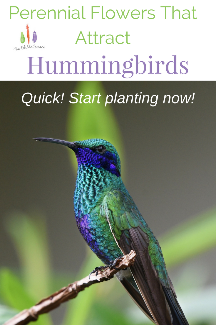 7 perennial flowers that attract hummingbirds pics included 7 perennial flowers that attract hummingbirds pics included mightylinksfo Choice Image