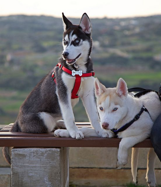 Sitting On Bench Cute Animals Siberian Husky Puppies Dogs Puppies