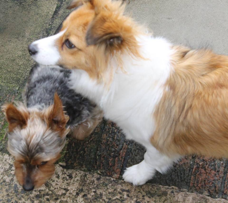 Sheltie with his pet Yorkie