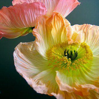 Zwei Mohnblumen 3 Ein Foto Von Jil Mohnblume Fotografie Blumen Und Fotos Blumen
