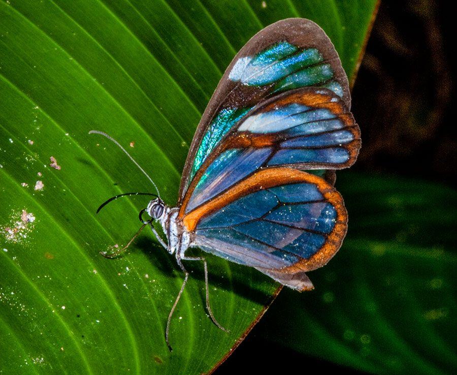 Glasswing Butterfly Ithomiidae Chiapas Glasswing Butterfly Panama