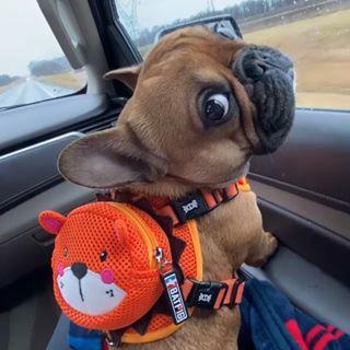 "Photo of BATPIG Pet Supply on Instagram: ""-Me heading back to school, cuz winter break is over! 😒 . .#winterbreakisover #backtoschool @its.hanks.world Shop our new BATPIG Backpack…"""