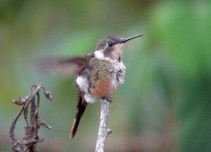 Magenta Throated Woodstar Species Hummingbird