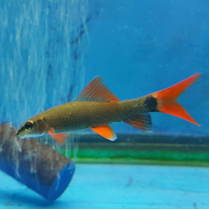 Rainbow Shark Epalzeorhynchos Frenatus Freshwater Aquarium Fish Shark Aquarium Fish
