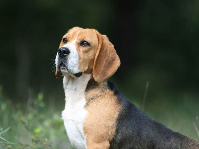 Beagles Possess A Distinct Howl Bay Of A Bark When They Are On