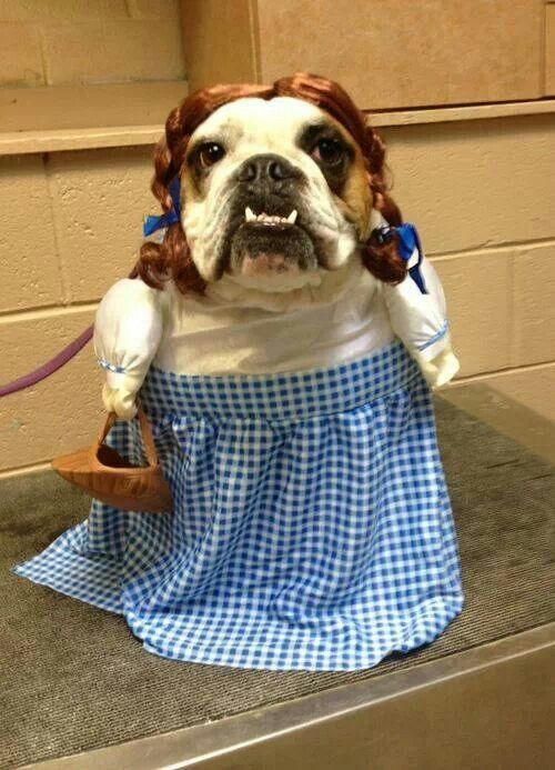 Like Is This Not The Funniest Dog Costume Ever Bulldog Funny