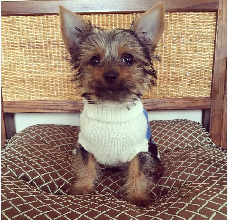 Yorkshire Terrier Puppy For Sale In Los Angeles Ca Adn 26271 On