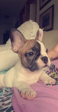 French Bulldog Puppy For Sale In Boston Ma Adn 65315 On