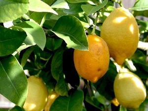 taille et entretien des citronniers et agrumes a august. Black Bedroom Furniture Sets. Home Design Ideas