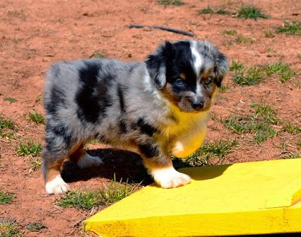Color Country Aussies Google Australian Puppies Australian