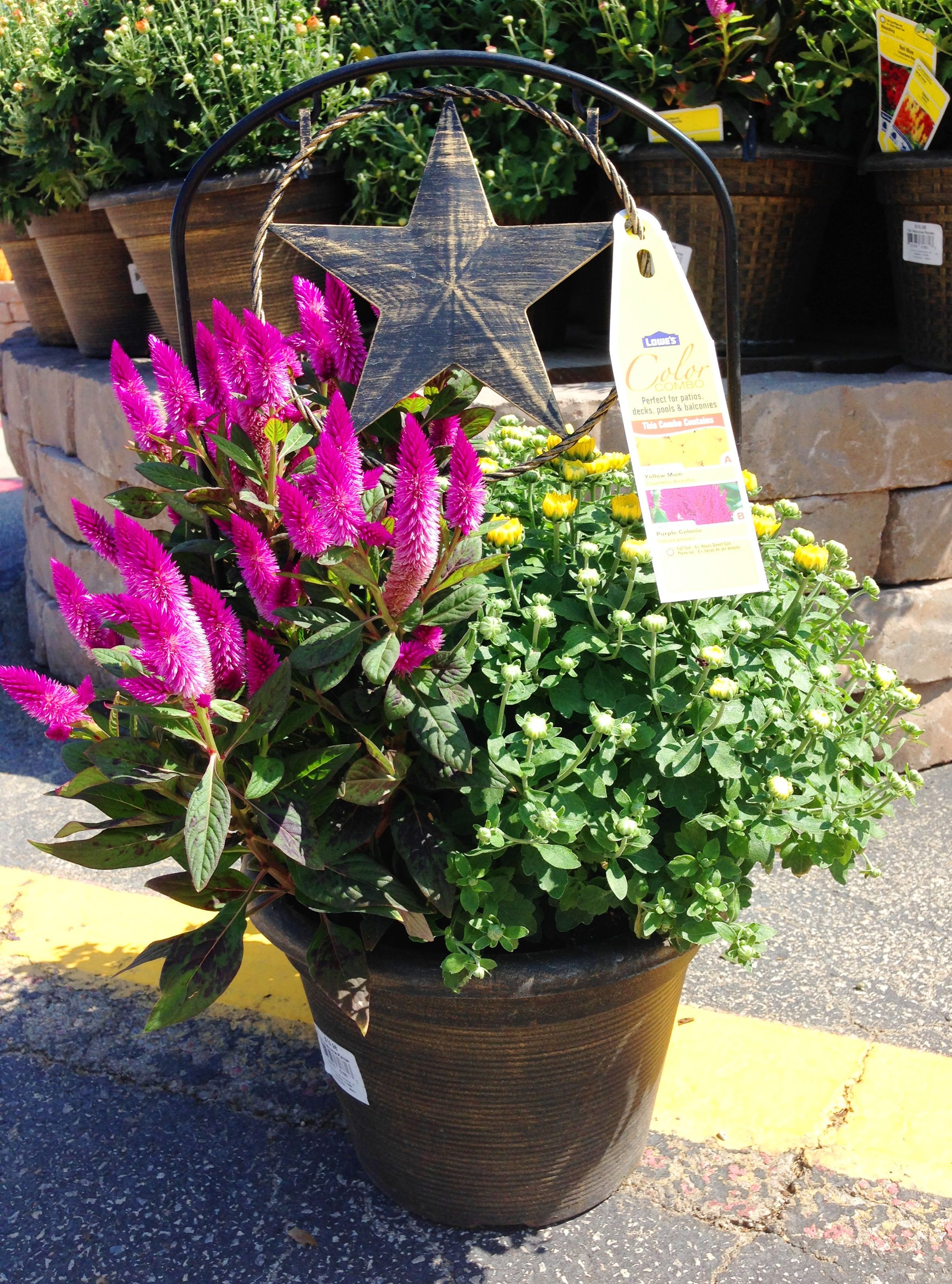 2 2g Welcome Planter With Intenz Celosia And Mum Patio Ready Plants Planters Garden