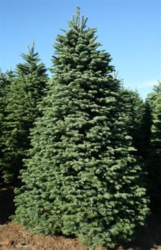 8 9 Foot Full Noble Fir Christmas Tree Christmas Trees Noble