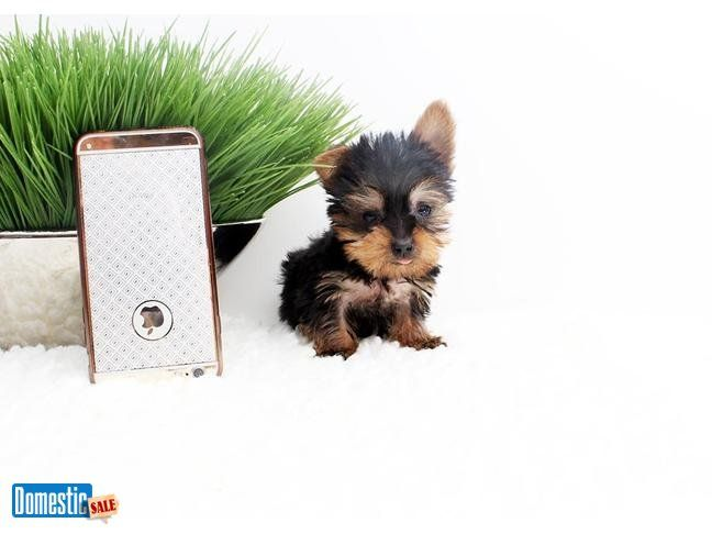 Teacup Yorkie Puppies Available Now Beverly Hills California Puppies Yorkie Puppy Morkie Puppies