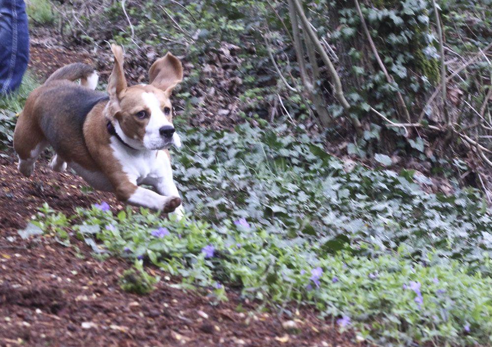 Beagle running animals pets animals beagle