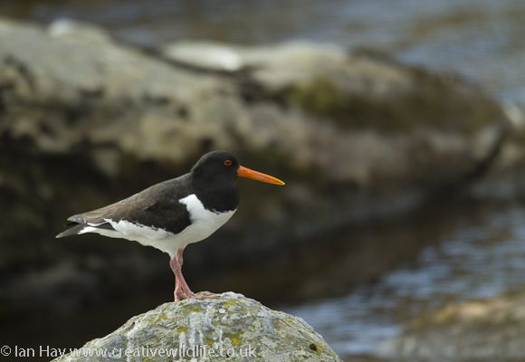 British Wading Birds - Oystercatcher | British birds | Pinterest