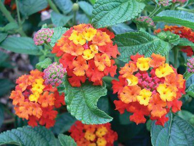 Exceptionnelle New Varieties Greenhouse Canada Lantana Camara Flowers Lantana