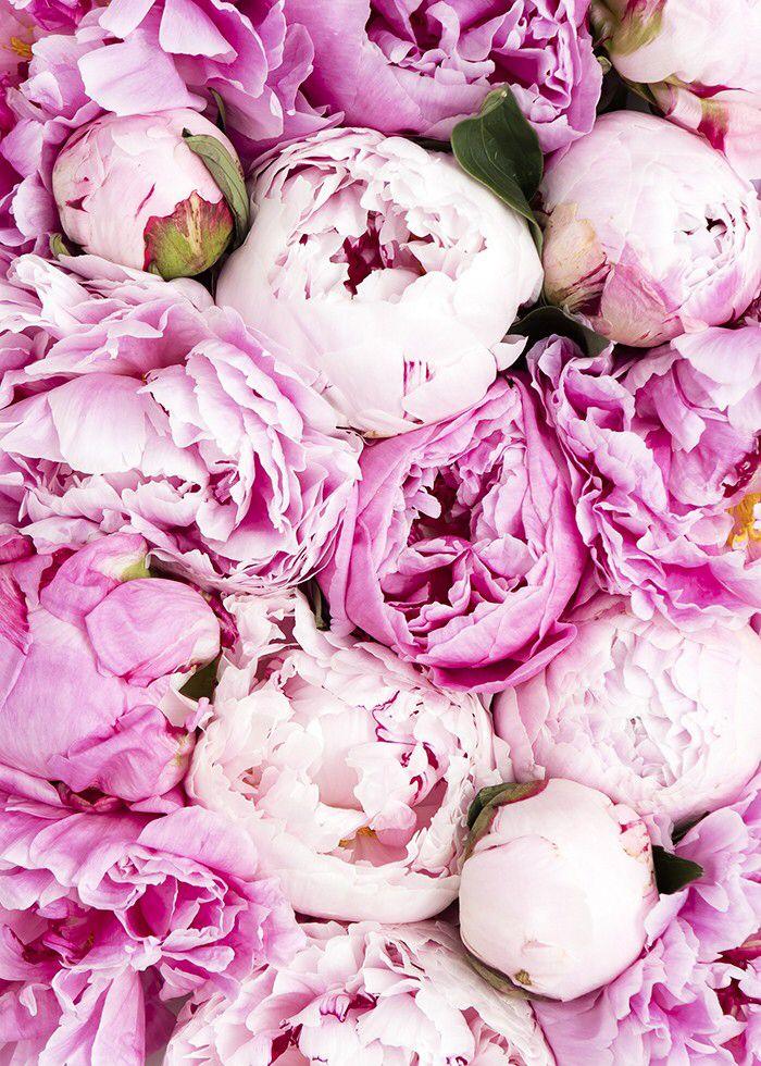 Peonies iPhone wallpaper Розовые пионы, Розы, Пионы