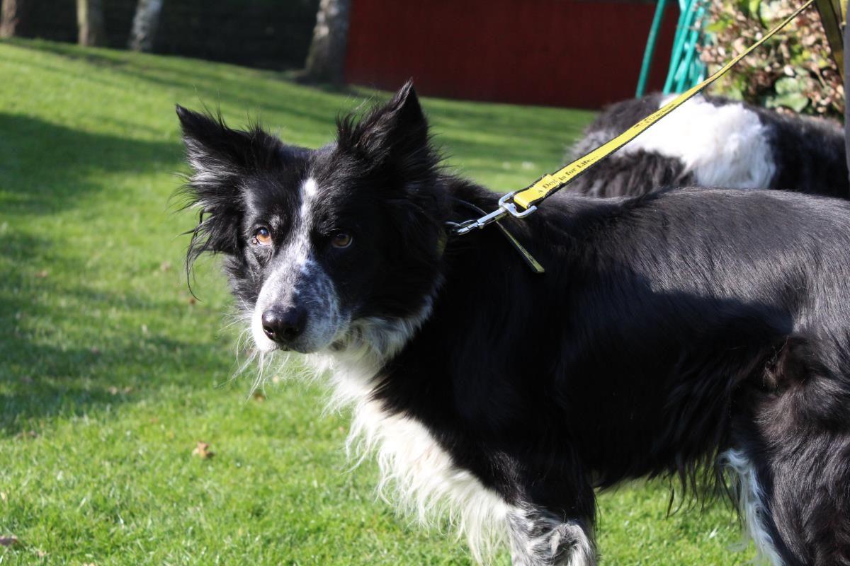 Adopt A Dog Cleo Border Collie Dogs Trust Dog Adoption Dog Friends Dogs Trust