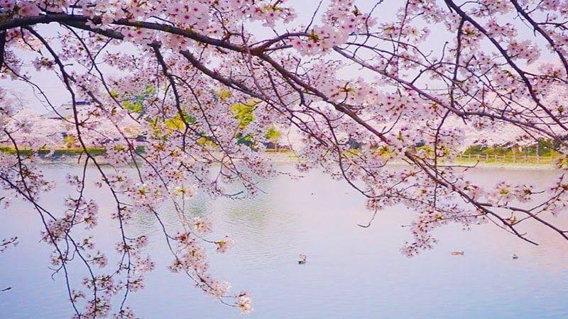 Terkeren 30 Gambar Jenis Bunga Sakura Sakura Bunga Sakura Atau Cherry Blossom Dalam Bahasa Inggeris Huruf Huruf Kanji Dan Baha Di 2020 Bunga Bunga Sakura Pemandangan