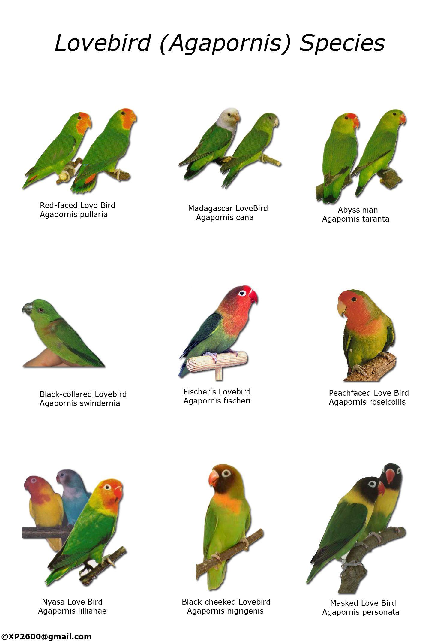 Types Of Lovebirds Chart