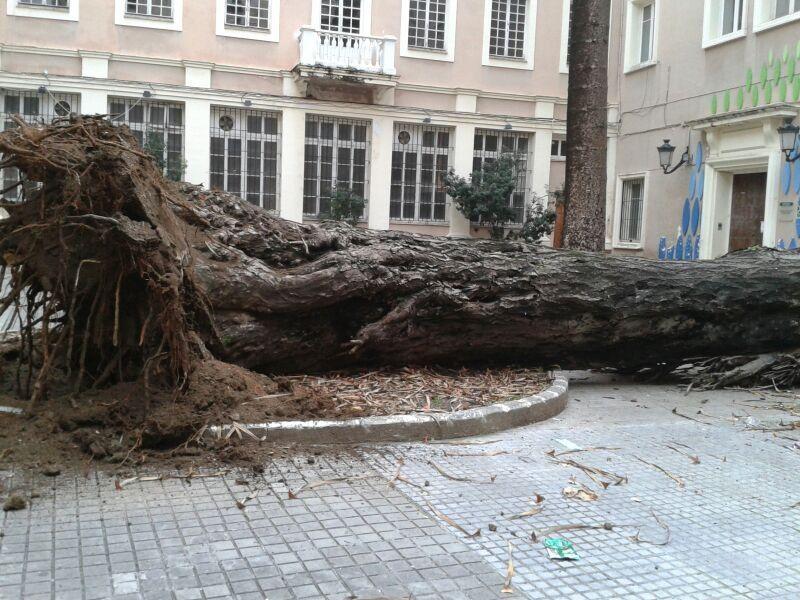 El drago del callejón del Tinte cae hoy en #Cadiz