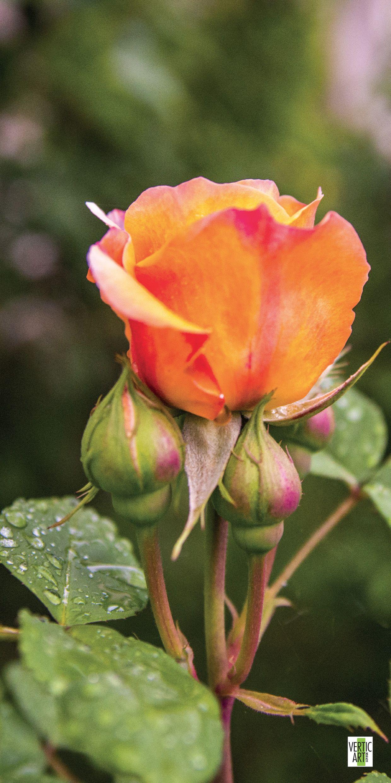 La Rose Orange Une Fleur Ardente La Rose Orange Exprime L Enthousiasme Le Desir L Admiration Ses Tonalites Chaudes Font Vibrer Et Fleurs Paysage Rose Orange