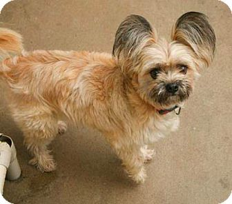 New York Ny Shih Tzu Papillon Mix Meet Molly A Dog For