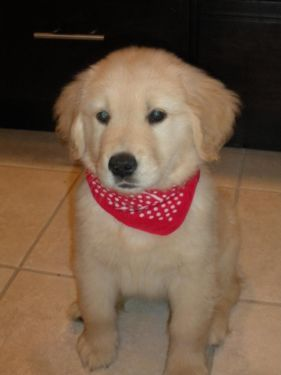 Golden Retriever Puppies For Sale Retriever Puppy Puppies For