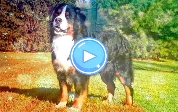 Pic bernese mountain dogs facts Ideas For over 2000 decades a Bernese Mountain  hill Pet is a huge essence with village existence in SwitzerlandBest Pic bernese mountain...