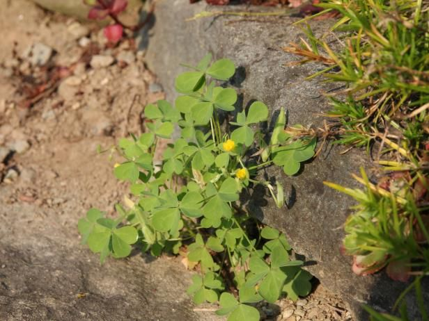 This Weed Resembles A Three Leaf Clover Topped With Cheery Yellow
