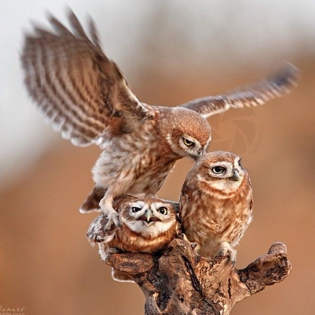 The little Owls family quarrel