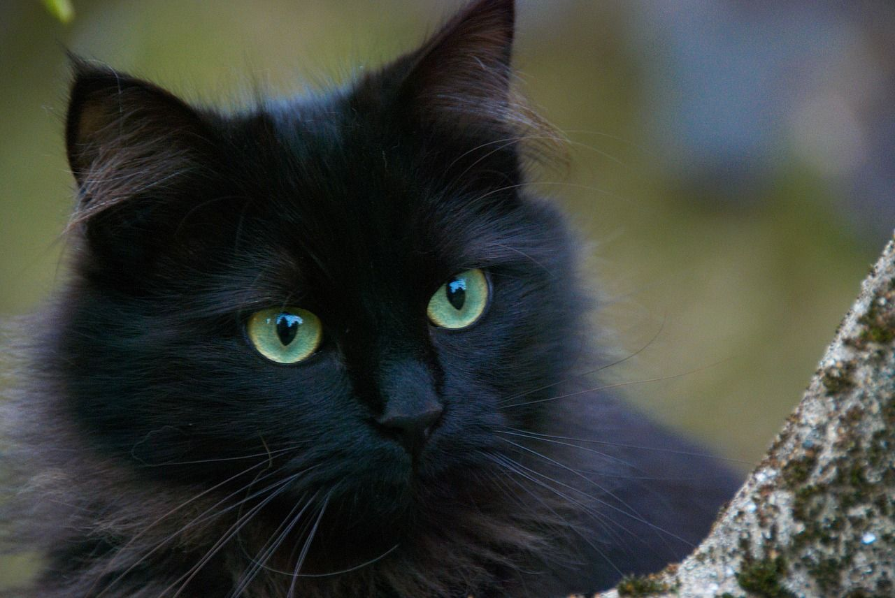 All Black Cats Are Lucky But The Luckiest Black Cat Is Said To Be Female Completely Jet Black With Black Whiskers And Gree Names For Black Cats Cats Black Cat
