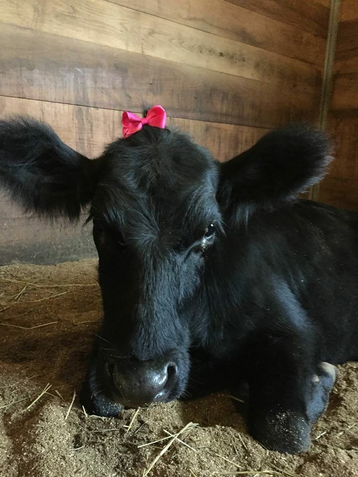 What A Cute Little Moo Girl For Leesie Baby Cows Cow