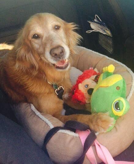 Adopt A J On Adoption I Love Dogs Golden Retriever Rescue