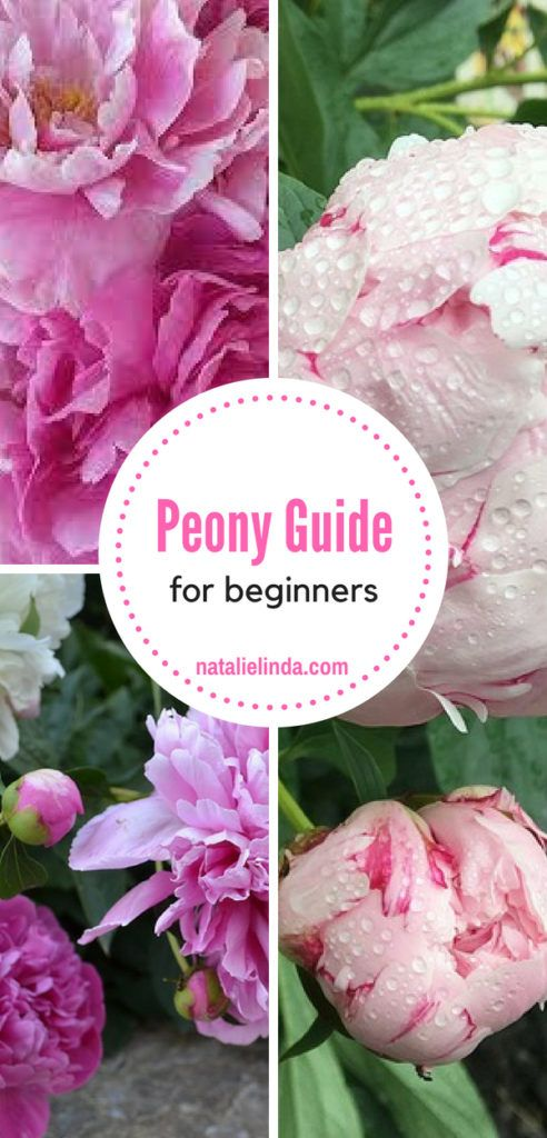 Photo of How to Plant and Care for Peonies – Natalie Linda