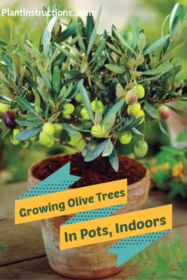 How To Grow Olive Trees In Pots Potted Trees Growing Olive