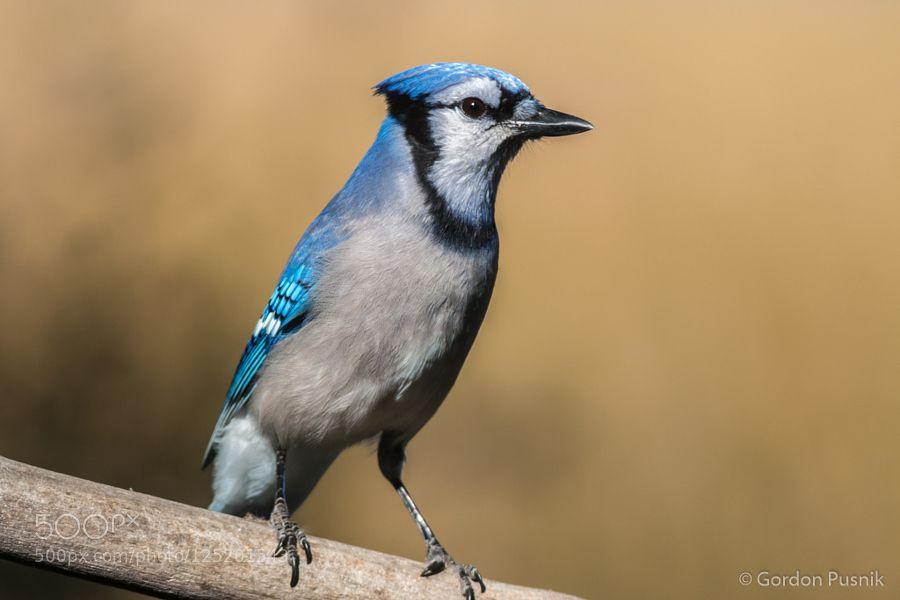 Blue Jay by gordonpusnik. Please Like http://fb.me/go4photos and Follow @go4fotos Thank You. :-)