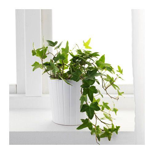 HEDERA HELIX Pianta da vaso, edera | Glicine