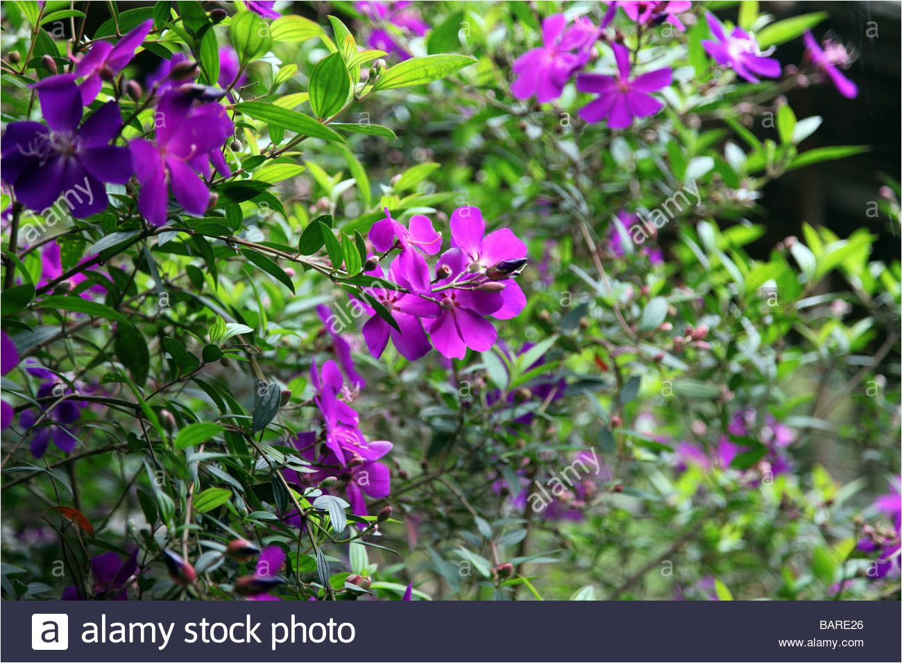 Beautifull Nature Flower Bush Bushes Flowers Pink Red In 2020 Purple Flowering Plants Purple And White Flowers Purple Flowering Bush