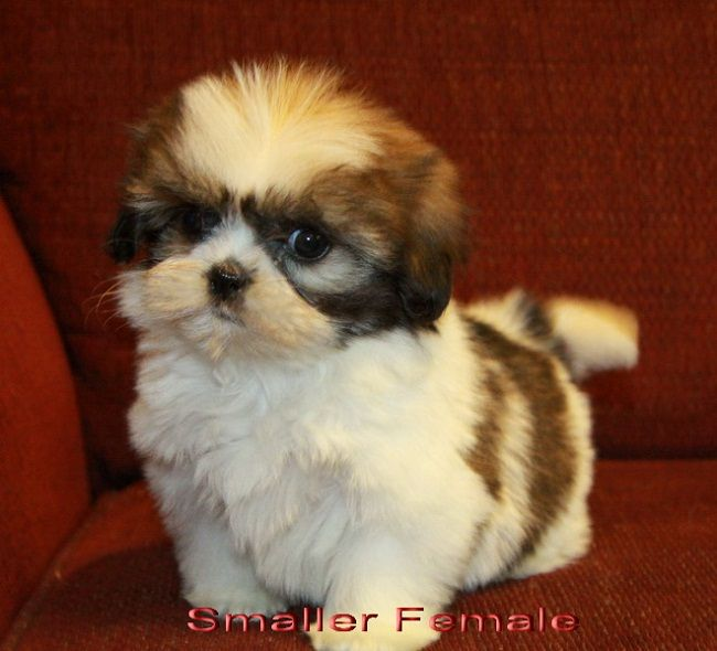 Shih Tzu Dog Breed Image All Dog Breeds Shih Tzu Puppy Shih Tzu Dog Shih Tzu