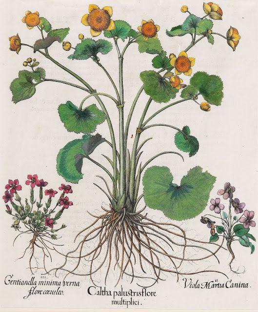 Pin Von Kathrin Wagner Auf Pflanzen: 17C American Women: Basilius Besler (German Botanist, 1561