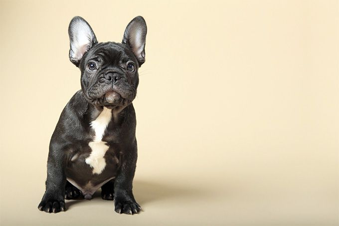 French Bulldog Dog Breed Information Pictures Characteristics