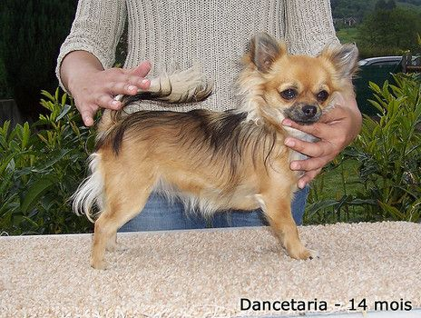 What Are Some Reasons Your Chihuahua May Experience Hair Loss
