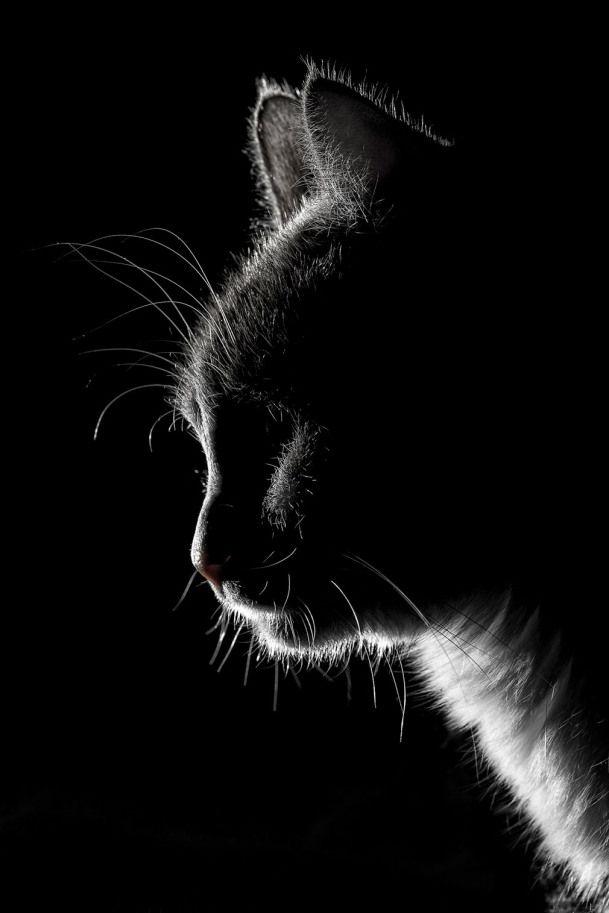 Cat Cat Poses Cat Portraits Cats And Kittens Cat Art
