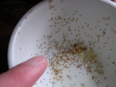 How To Get Rid Of Ants In The Kitchen Follow These Steps Get